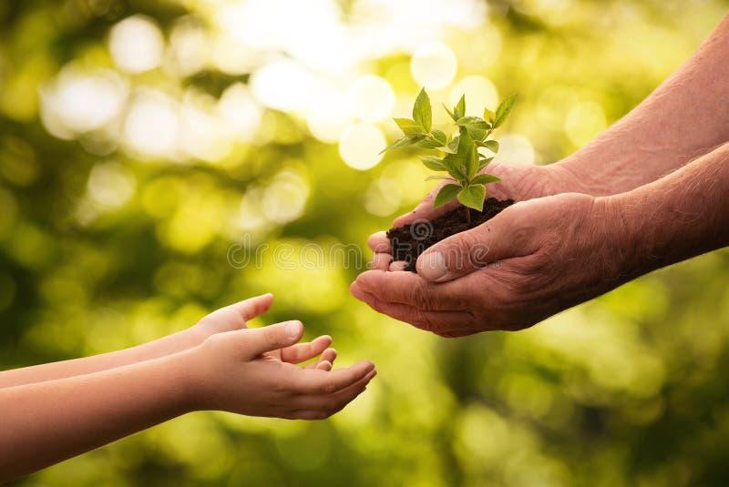 Ciérrese para arriba de las manos mayores que dan la pequeña planta a un niño imagenes de archivo