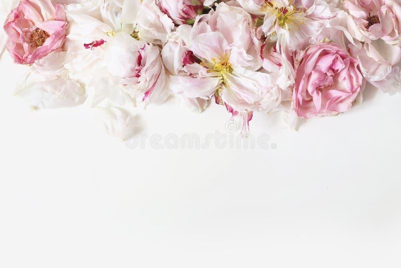 Ciérrese para arriba de las peonías del descoloramiento y de los pétalos color de rosa rosados de las flores aislados en el fondo imagenes de archivo