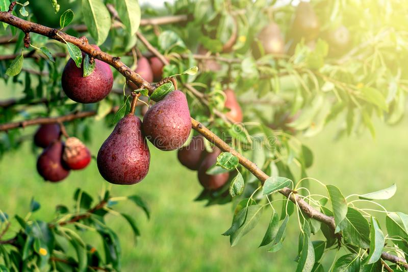 Ciérrese para arriba de las peras rojas maduras en el árbol en una arboleda en jardín del fruot con muchas peras en el fondo, tod foto de archivo libre de regalías