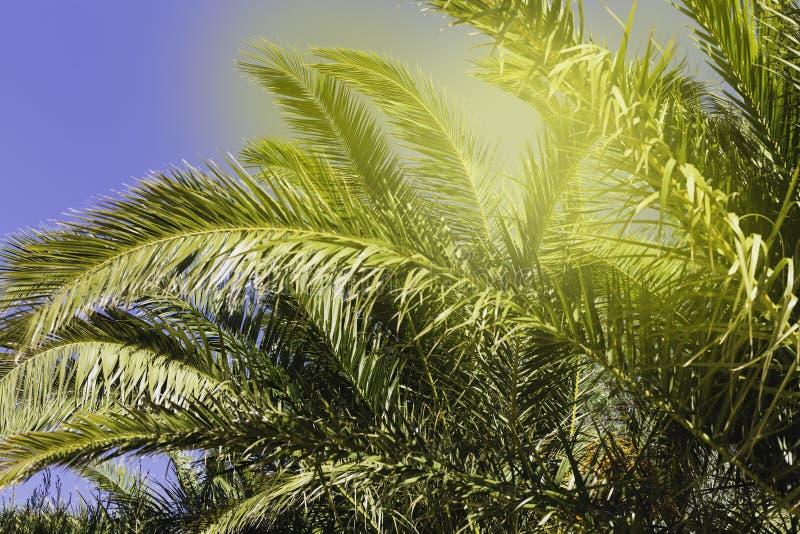 Ciérrese para arriba de las ramas de palmera tropicales y del sol brillante que se rompen a través de las hojas - fondo abstracto fotos de archivo
