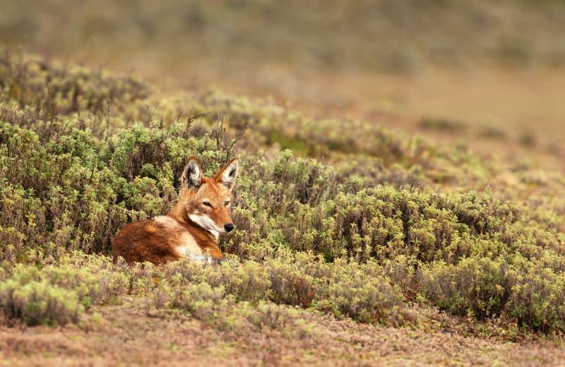 Ciérrese para arriba de lobo etíope en peligro fotos de archivo libres de regalías