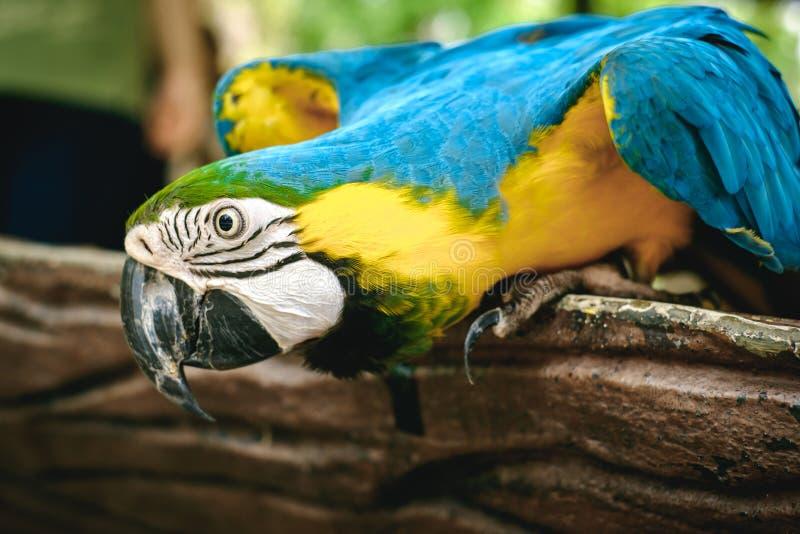 Ciérrese para arriba de loros del macaw en la rama de árbol imagenes de archivo