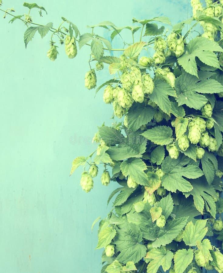Ciérrese para arriba de los conos de salto maduros verdes Ingrediente de la producción de la cerveza En imagen de archivo libre de regalías