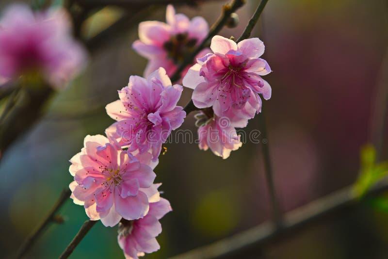 Ciérrese para arriba de los flores del melocotón en primavera imagenes de archivo