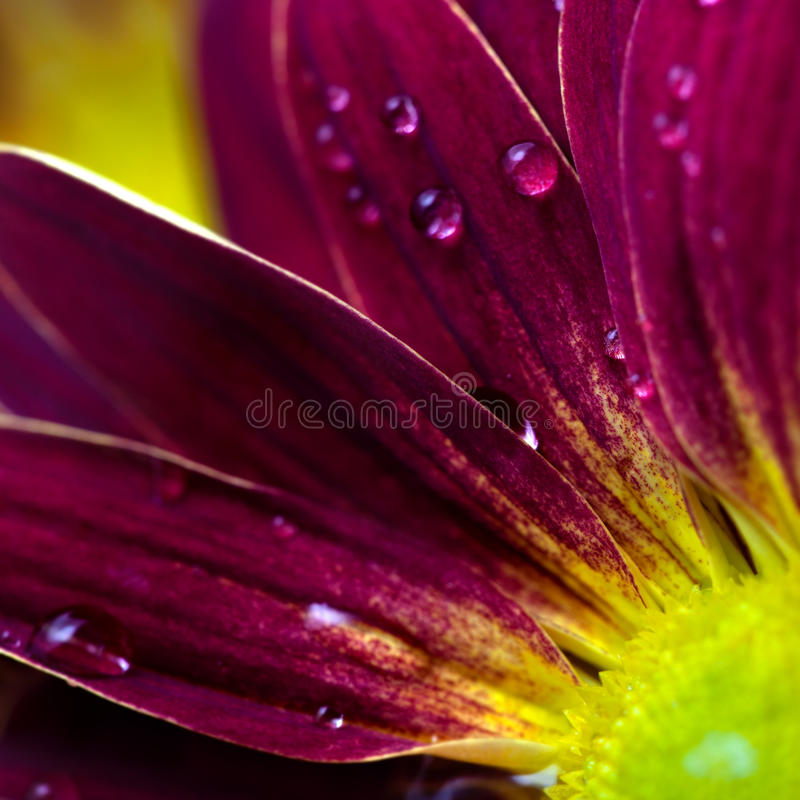 Ciérrese para arriba de los pétalos de la flor imagen de archivo