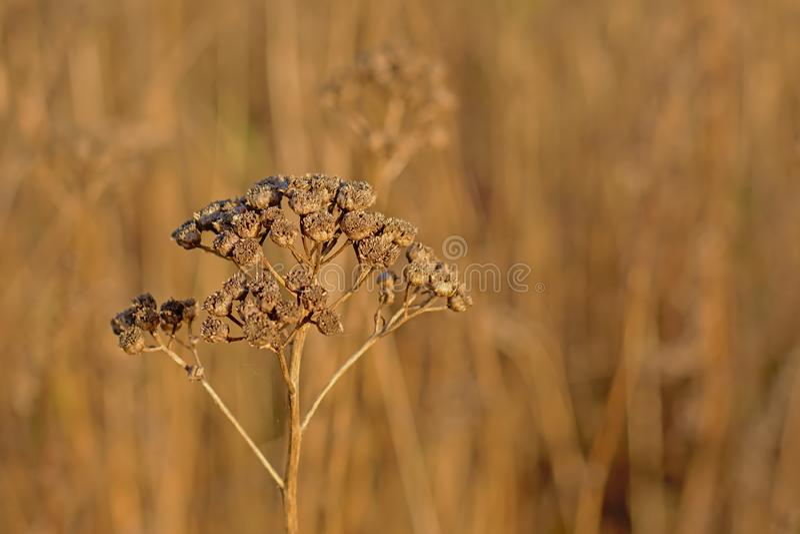 Ciérrese para arriba de los seedpods marrones secados de la flor del tansy - vulgare del Tanacetum fotografía de archivo libre de regalías