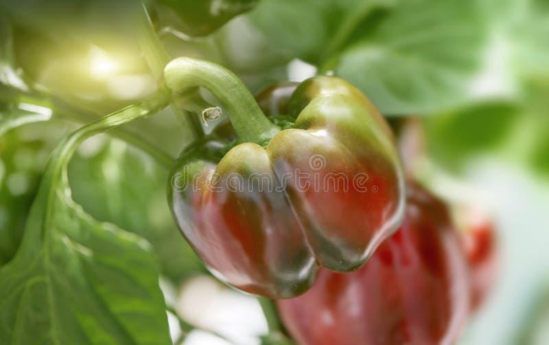 Ciérrese para arriba de madurar a Paprika Pepper en la planta imagenes de archivo