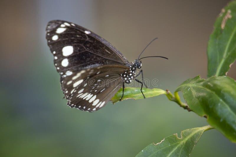 Ciérrese para arriba de mariposa en una hoja fotos de archivo