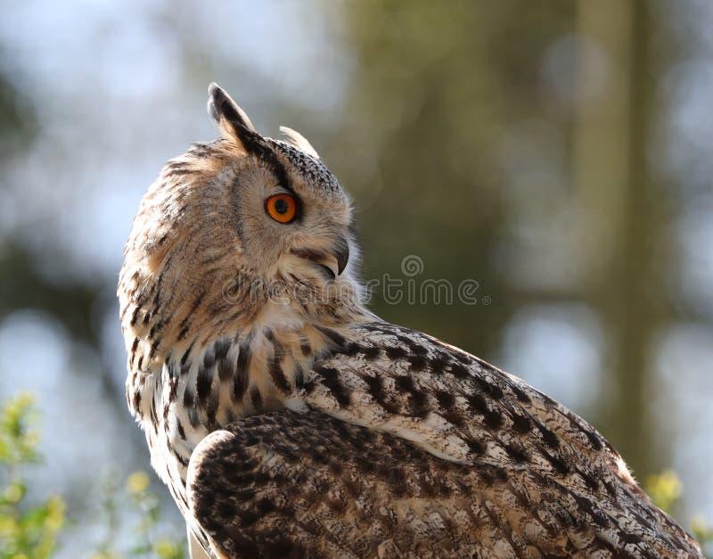 Ciérrese para arriba de mirar fijamente de Eagle Owl fotos de archivo