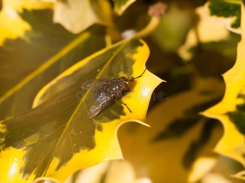 Ciérrese para arriba de moscón gris de la carne en el borde del pasto amarillo y verde abigarrado fotografía de archivo libre de regalías