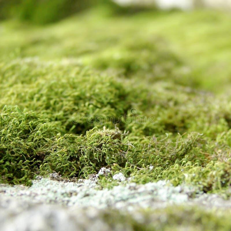 Ciérrese para arriba de musgo verde foto de archivo