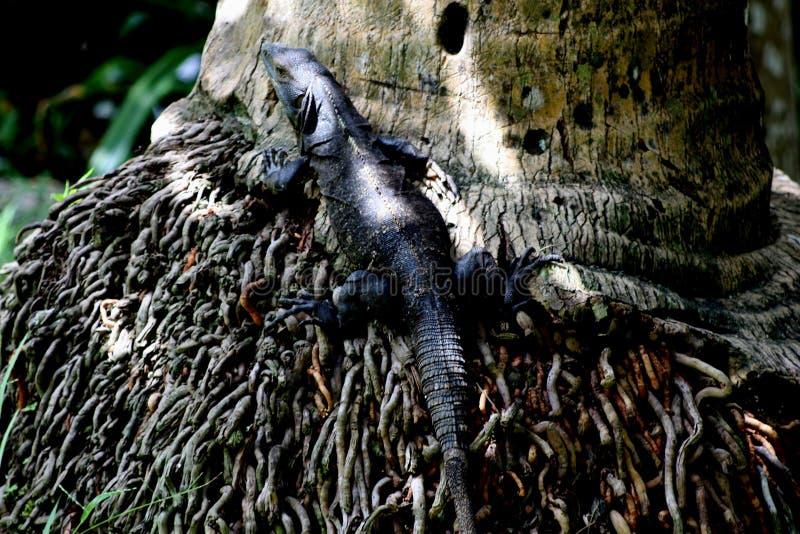 Ciérrese para arriba de negro y lagarto rayado gris camuflado como él descansa en el pie de una palmera fotografía de archivo