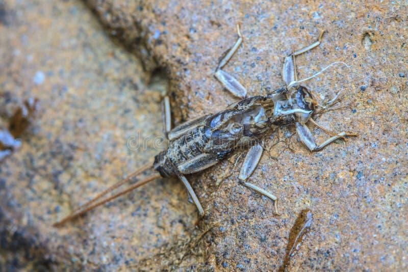 Ciérrese para arriba de ninfas de la libélula imagenes de archivo