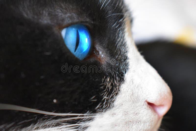 Ciérrese para arriba de ojo azul del ` s del gato foto de archivo