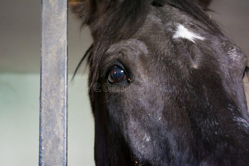 Ciérrese para arriba de ojo negro del caballo en el establo imágenes de archivo libres de regalías