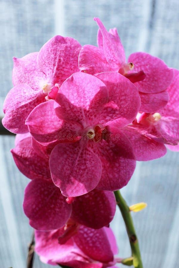 Ciérrese para arriba de orquídea rosada fotografía de archivo libre de regalías