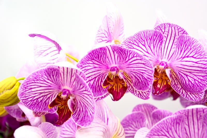 Ciérrese para arriba de orquídeas púrpuras, Phalaenopsis hermoso rayó las flores de la orquídea aisladas en el fondo blanco fotos de archivo