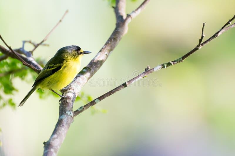 Ciérrese para arriba de pájaro amarillo-lored del passerine del tody-cazamoscas imágenes de archivo libres de regalías
