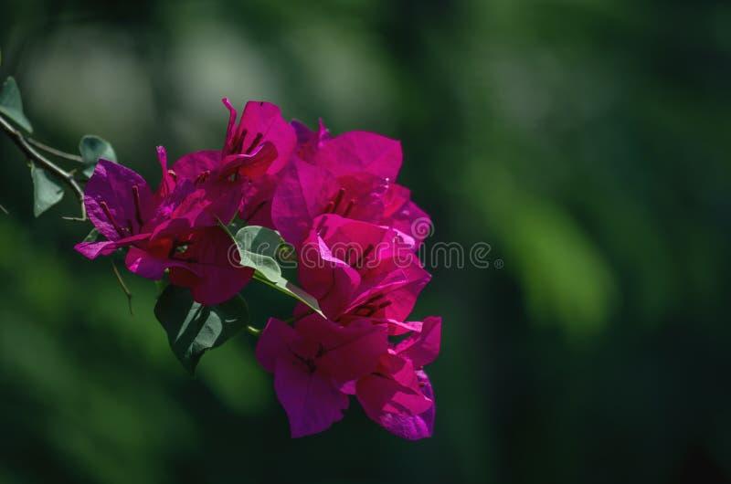 Ciérrese para arriba de púrpura rojiza de las flores de la buganvilla foto de archivo libre de regalías