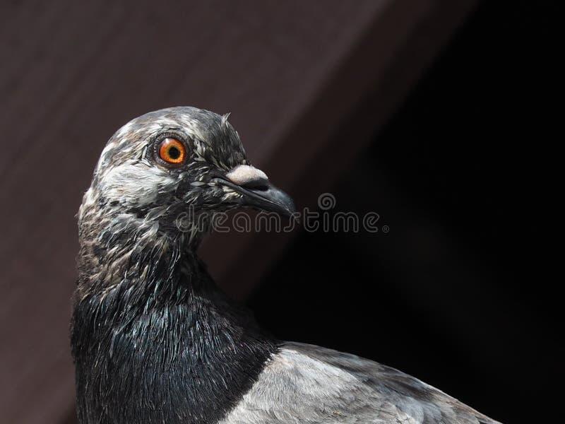 Ciérrese para arriba de paloma gris fotografía de archivo