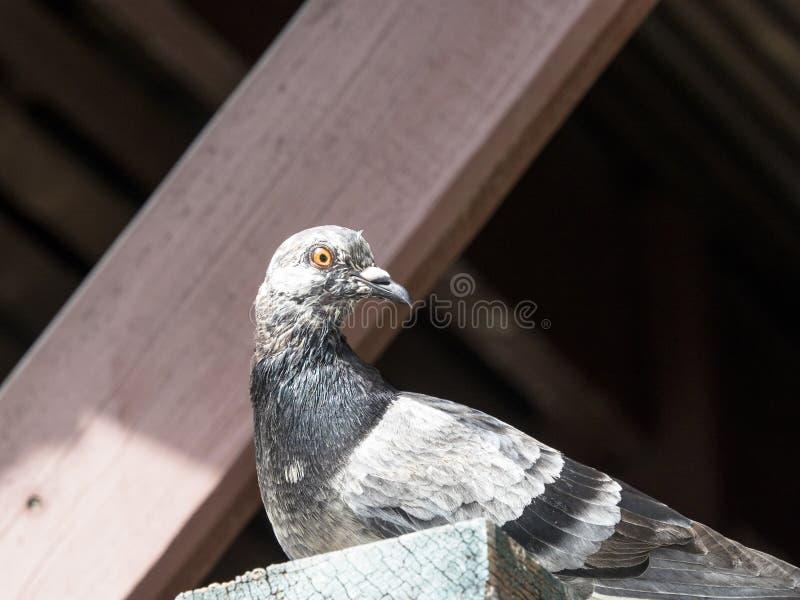 Ciérrese para arriba de paloma gris fotografía de archivo libre de regalías