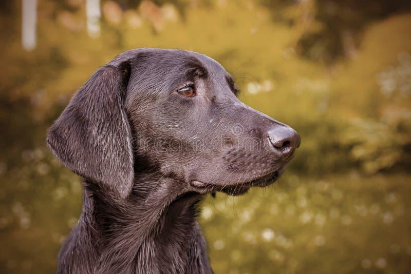 Ciérrese para arriba de perro negro del labrador retriever en Finlandia El perro está cazando el tipo y lo adelgaza fotografía de archivo libre de regalías