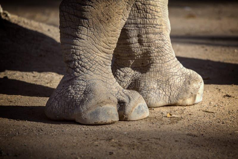 Ciérrese para arriba de pie del rinoceronte imagenes de archivo