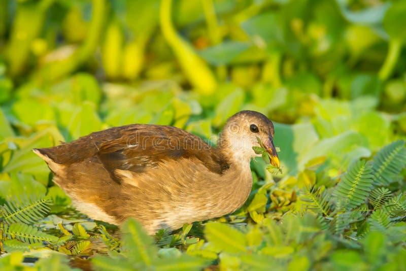 Ciérrese para arriba de polla de agua común joven imagen de archivo