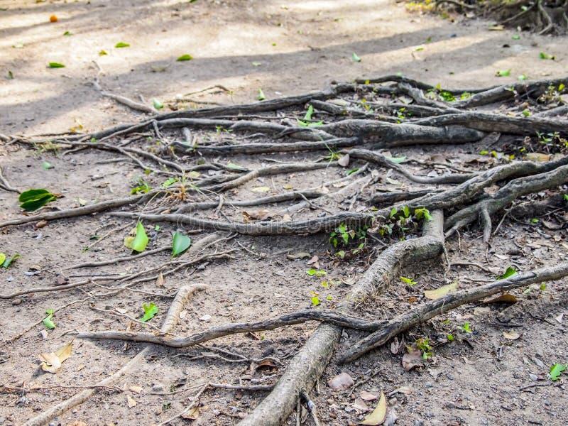Ciérrese para arriba de raíces de un árbol entre una tierra árida y hojas del verde imagen de archivo libre de regalías