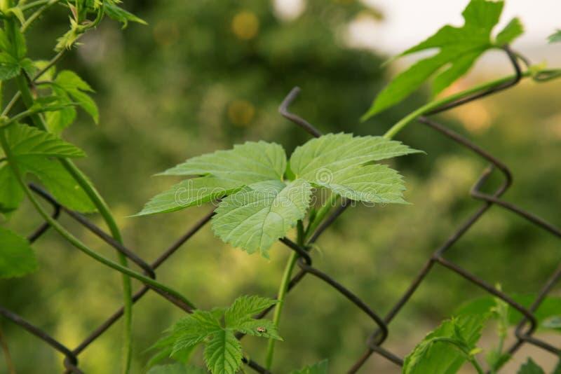Ciérrese para arriba de rama madura verde del salto Ingrediente de la producción de la cerveza I foto de archivo libre de regalías