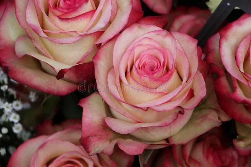 Ciérrese para arriba de rosas coloridas hermosas fotografía de archivo