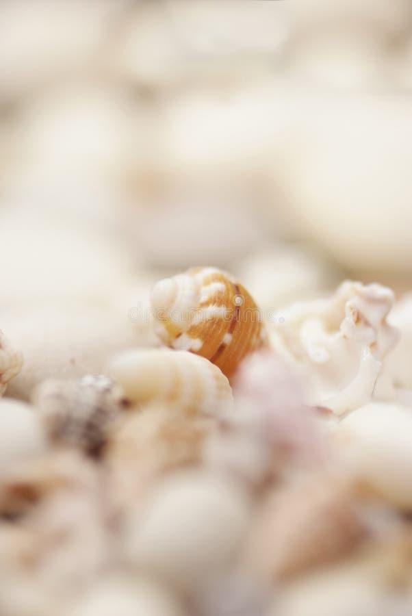 Ciérrese para arriba de seashells fotografía de archivo libre de regalías