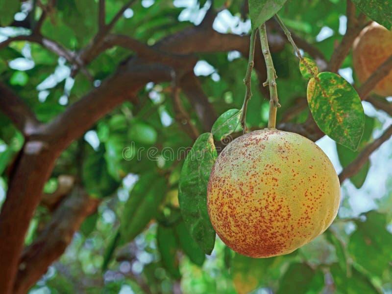 Ciérrese para arriba de sola caída de maduración fresca del pomelo en la rama del árbol con el espacio de la copia fotos de archivo libres de regalías