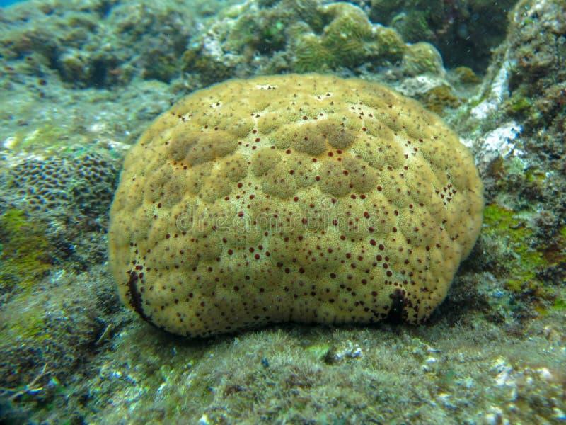 Ciérrese para arriba de submarino coralino pedregoso Fondo subacu?tico del paisaje del arrecife de coral en el mar azul con los p fotos de archivo libres de regalías