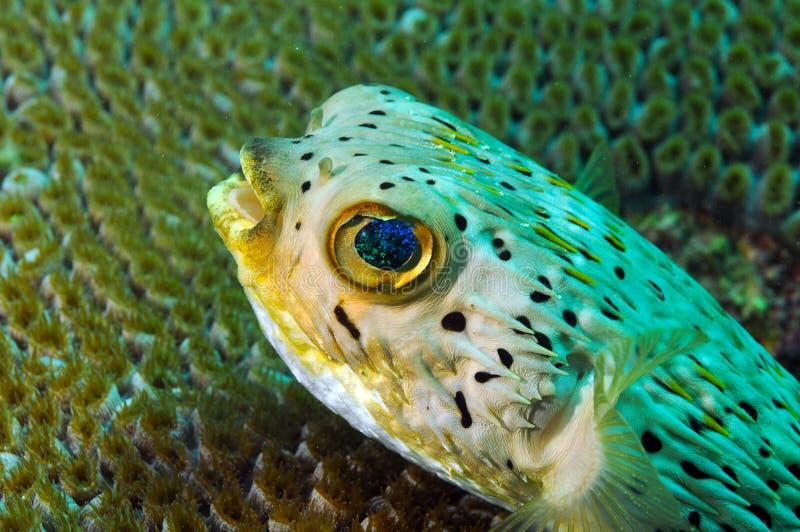 Ciérrese para arriba de submarino del blowfish en el océano fotografía de archivo