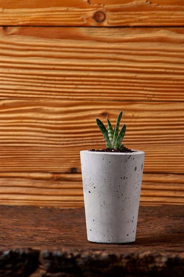 Ciérrese para arriba de succulents minúsculos en potes concretos de DIY El concepto de comodidad casera fotografía de archivo libre de regalías