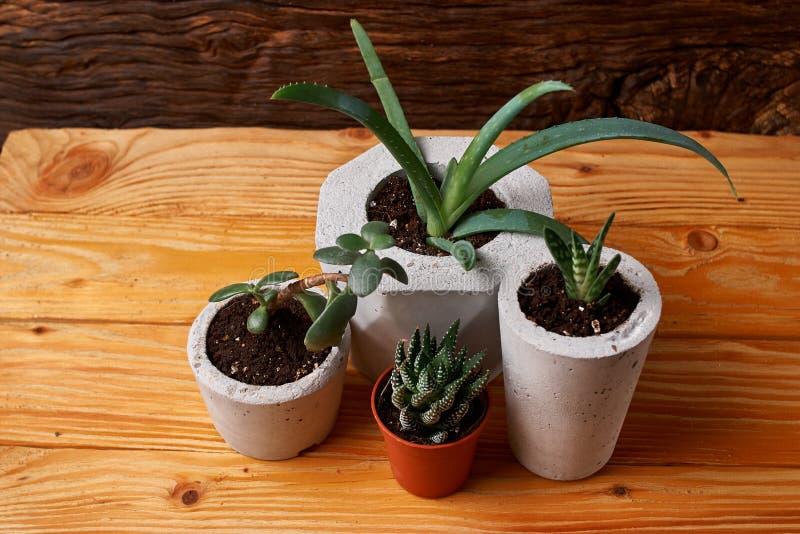 Ciérrese para arriba de succulents minúsculos en potes concretos de DIY El concepto de comodidad casera imagen de archivo libre de regalías