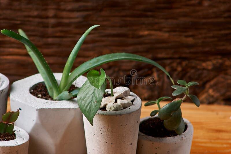 Ciérrese para arriba de succulents minúsculos en potes concretos de DIY El concepto de comodidad casera foto de archivo libre de regalías