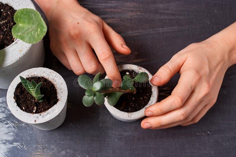 Ciérrese para arriba de succulents minúsculos en potes concretos de DIY El concepto de comodidad casera imagen de archivo