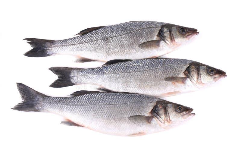 Ciérrese para arriba de tres pescados frescos de la lubina. fotos de archivo libres de regalías