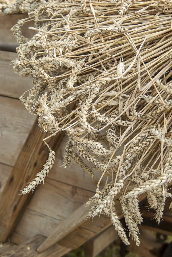 Ciérrese para arriba de trigo segado en un carro antes de trillar con la trilladora histórica fotos de archivo