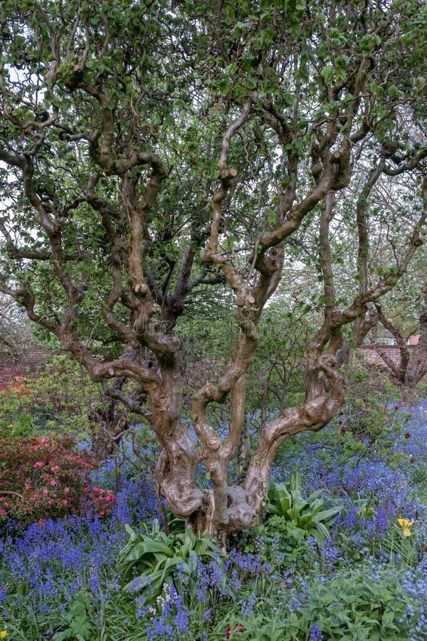 Ciérrese para arriba de tronco de árbol nudoso viejo y de flores coloridas en frontera fuera del jardín emparedado en la casa de  fotos de archivo