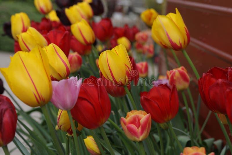 Ciérrese para arriba de tulipanes abigarrados en un canal foto de archivo