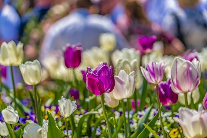 Ci?rrese para arriba de tulipanes delicados con los p?talos p?rpuras y blancos exquisitos en un d?a soleado imágenes de archivo libres de regalías