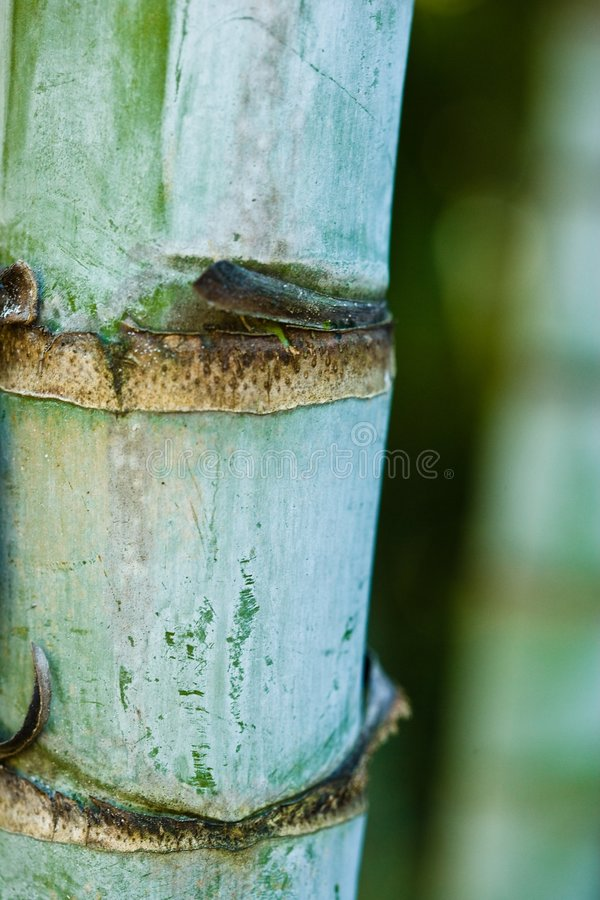 Ciérrese para arriba de un brote de bambú fotografía de archivo libre de regalías