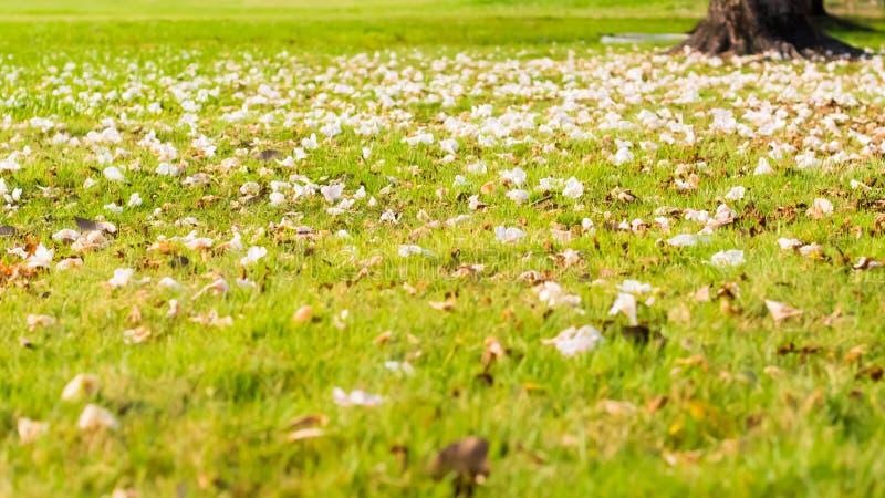 Ciérrese para arriba de un césped del jardín, hierba verde derramada con los pétalos de un cerezo floreciente foto de archivo