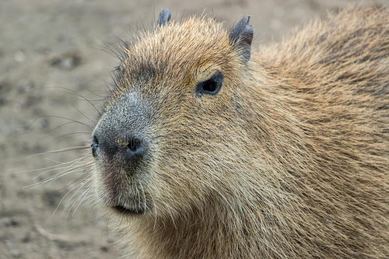 Ciérrese para arriba de un Capybara foto de archivo
