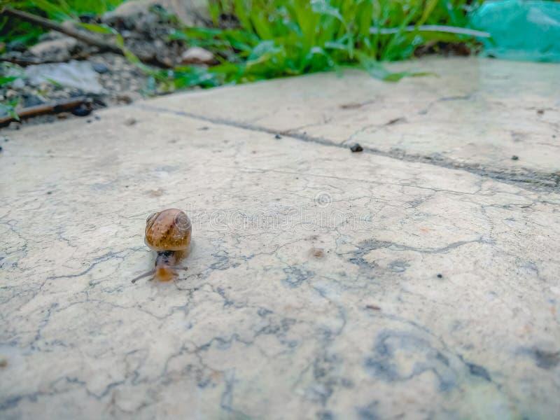 Ciérrese para arriba de un caracol que se arrastra en una superficie de mármol en el jardín después de la lluvia imagen de archivo