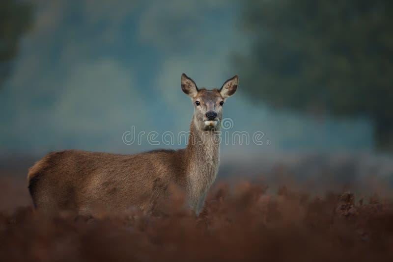 Ciérrese para arriba de un ciervo común trasero en niebla imagen de archivo libre de regalías