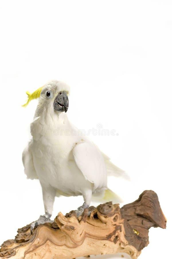 Ciérrese para arriba de un cockatoo blanco foto de archivo libre de regalías